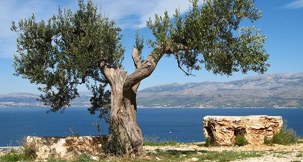 zeytin ağacı ve öyküsü