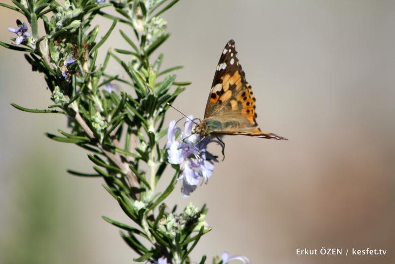 Antalya gezisi kelebekler