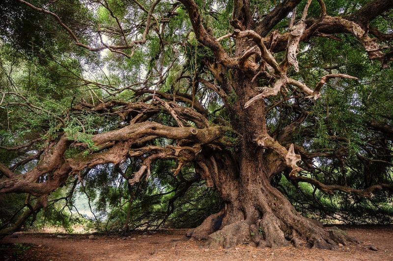 Zeytin Ağacı altında